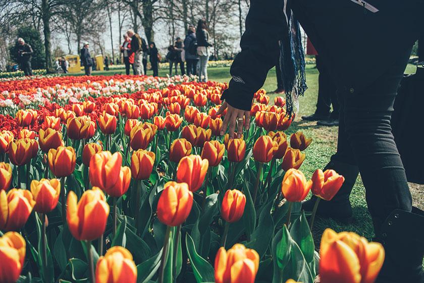 Tulipanes en Keukenhof