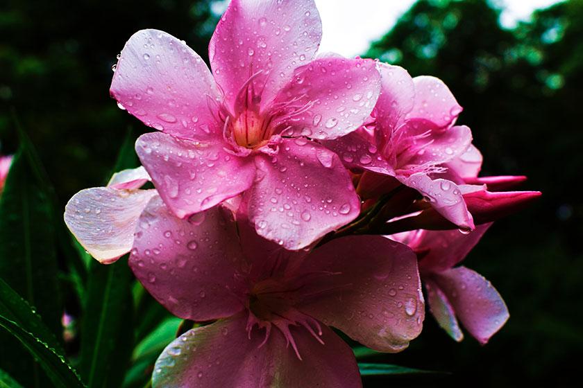 Gotas de lluvia en las flores
